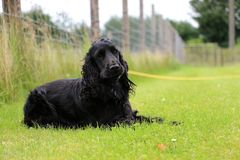 Running cocker spaniel is lying in the park. Beautiful cocker spaniel is lying in the garden stock images
