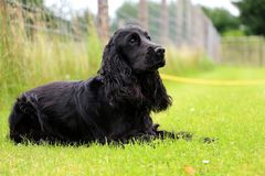Running cocker spaniel is lying in the park. Beautiful cocker spaniel is lying in the garden stock photo