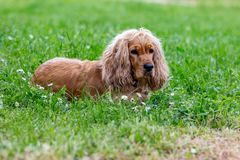 Beautiful cocker spaniel lying on green grass. Beautiful cocker spaniel lying on green springtime grass, selective focus, colorful picture stock images