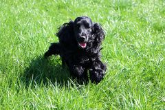 Running cocker spaniel is running in the park. Beautiful cocker spaniel is running in the garden royalty free stock image