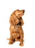 Beautiful cocker spaniel sitting Royalty Free Stock Image