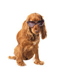 Beautiful cocker spaniel in sunglasses Royalty Free Stock Image