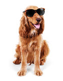 Beautiful cocker spaniel in sunglasses siting isolated on white Stock Image