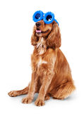 Beautiful cocker spaniel in sunglasses siting isolated on white background Stock Photos
