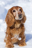 Cocker Spaniel in winter Royalty Free Stock Photo