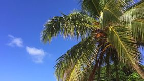 Beautiful Coconut Palm Against the Blue Sky. Perfect Background Slowmotion HD Shot for Travel Agency. Thailand. Beautiful Coconut Palm Against the Blue Sky stock footage
