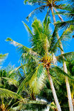 Beautiful coconut palm tree with blue bright sky Stock Photography