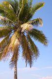 Beautiful coconut palm tree Royalty Free Stock Images