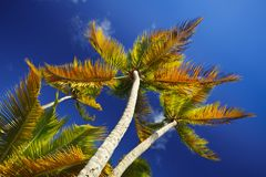 Colorful Coconut Palm Trees, Antigua. Beautiful coconut palm trees from below with strong polarizer effect Royalty Free Stock Images