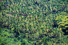 Beautiful coconut palms in a tropical jungle, Philippines Royalty Free Stock Photo