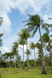 Beautiful coconut trees. Stock Photos