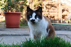 Beautiful cofee cat with white and black. Beautiful cofee cat with blue eyes, who it sitting in the garden royalty free stock image