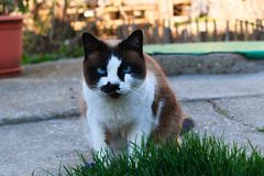 Beautiful cofee cat with white and black. Beautiful cofee cat with blue eyes, who it sitting in the garden stock photos