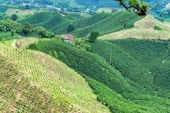 Beautiful Coffee Covered Hills stock photo
