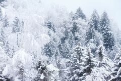 Pine trees fresh snow royalty free stock photography