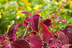 Beautiful Coleus flower Royalty Free Stock Photo