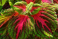 Beautiful Coleus Plant in Early Light. Close-up of beautiful coleus plant in early morning light emphasizing texture Royalty Free Stock Photography