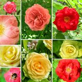 Beautiful collage of roses Royalty Free Stock Photos