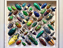 Beautiful collection of beetles Royalty Free Stock Images
