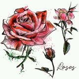 Beautiful collection from hand drawn roses. Beautiful collection from hand drawn watercolor roses Stock Photo