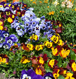 Beautiful collections of Viola flowers Stock Photo