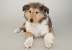 Beautiful Collie Puppy Stock Photography