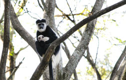 A beautiful Colobus monkey with baby Stock Photography