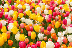 Beautiful coloful tulips in a botanical garden. Beautiful colorful tulips in a botanical garden. Nature background stock photo
