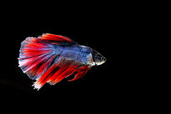 Beautiful color betta fish Royalty Free Stock Image