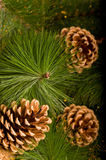 Beautiful color Christmas pine cone Royalty Free Stock Image