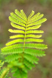 Beautiful color composition of leaf. Beautiful color composition of mimosa pudica leaf when the light shine Royalty Free Stock Photo