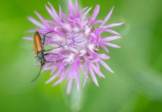 Insect beetle Rhagonycha fulva alone on pink flower close up stock photos