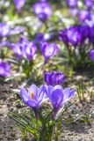 Beautiful color crocuses blooming in spring park in Szczecin Stock Photos