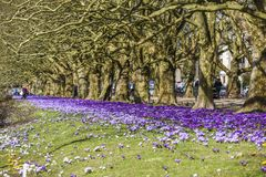 Beautiful color crocuses blooming in spring park in Szczecin Royalty Free Stock Photos