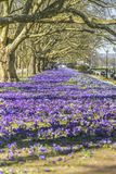 Beautiful color crocuses blooming in spring park in Szczecin Royalty Free Stock Photography