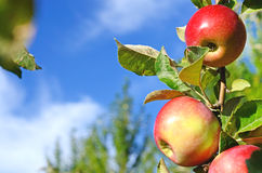 Beautiful color fresh apples standing on a branch of the tree in Royalty Free Stock Photo