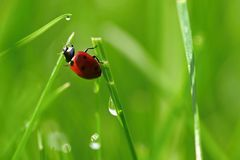 Beautiful color image of ladybugs in grass. Insect close up in nature.  stock photography