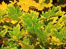 Beautiful color leaves Stock Image