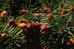 Beautiful color new fir cones on green branches stock image
