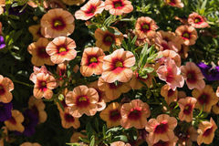 Beautiful color Petunias Petunia hybrida in garden soft focus Stock Images