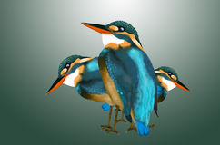 Beautiful color wood kingfisher. Wood kingfisher on radial gradient background Royalty Free Stock Photos