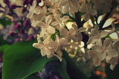 Colored blooming lilac branch among green leaves in May. Beautiful colored blooming lilac branch among green leaves in May Royalty Free Stock Photo