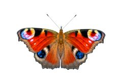 Beautiful colored butterfly on a white background. European Peacock butterfly Inachis io royalty free stock photography