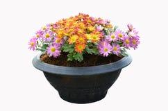 Beautiful colored chrysanthemum flower pot Stock Photos
