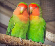 Beautiful colored couple parrot lovers Stock Images