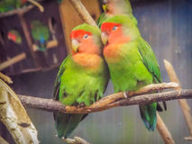 Beautiful colored couple parrot lovers Stock Photo