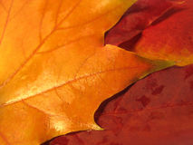 Beautiful colored fall leaves Stock Photography