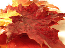 Beautiful colored fall leaves with water drops Royalty Free Stock Photos