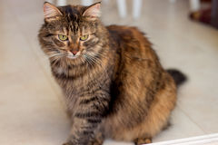 Beautiful colored fluffy cat sitting on the floor with a bright red wool Royalty Free Stock Photo