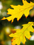 Beautiful colored leaves Royalty Free Stock Photography